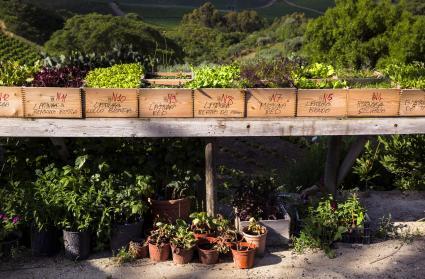 Healthy herbs in a green herb garden