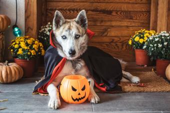 Halloween vampire dog