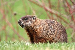 When Did Groundhog Day Celebration First Begin