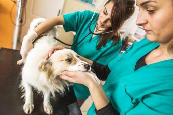 Veterinarias examinando un perro