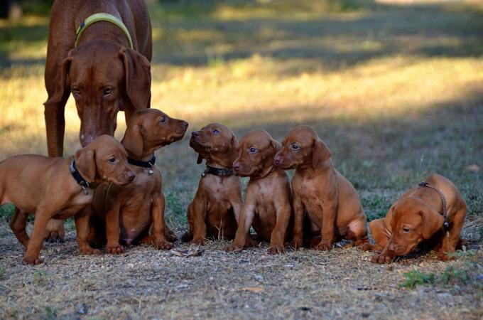 Vizsla madre con cachorros
