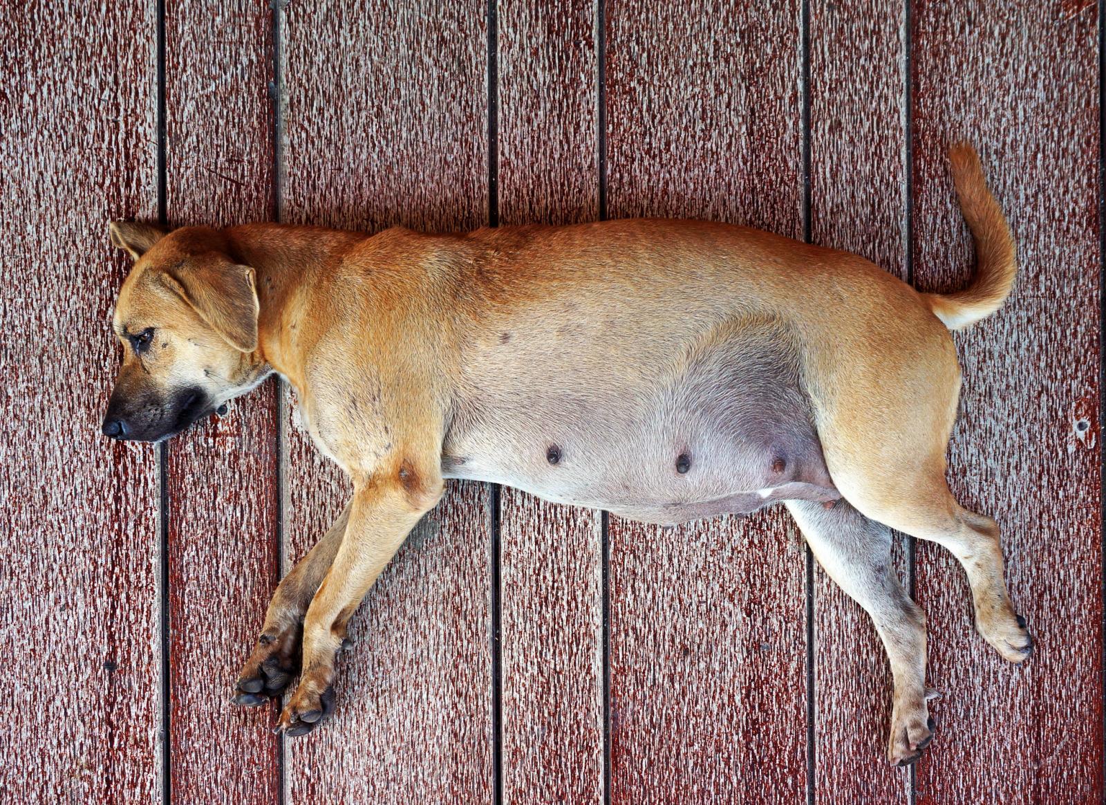 Gestación canina