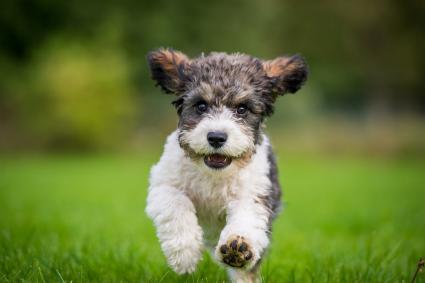 Perro cavachon corriendo