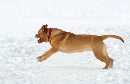 Mastín francés corriendo en la nieve