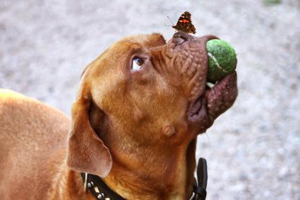 Mastín francés con pelota y mariposa