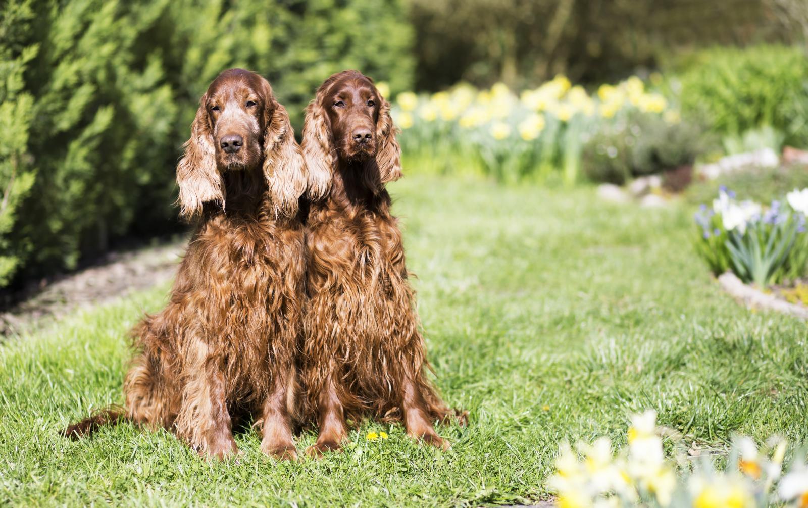 Servicio de semental canino