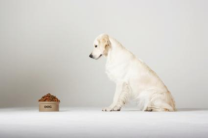 Perro labrador mirando la comida
