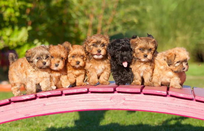 Manada de cachorros