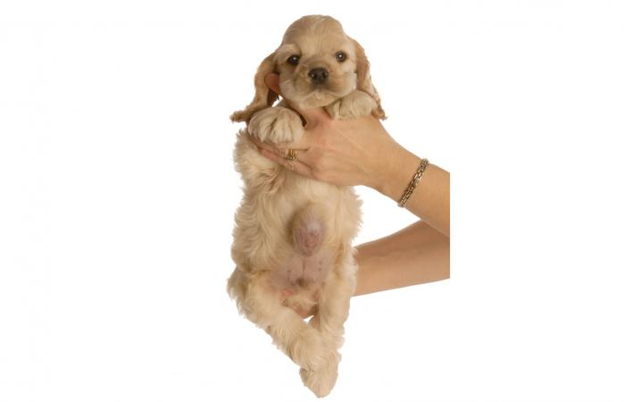 Cachorro con hernia umbilical