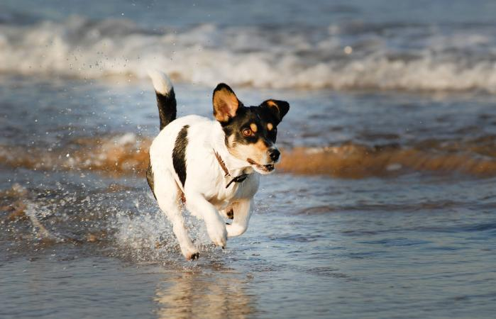 Cachorro Feist corriendo en la playa