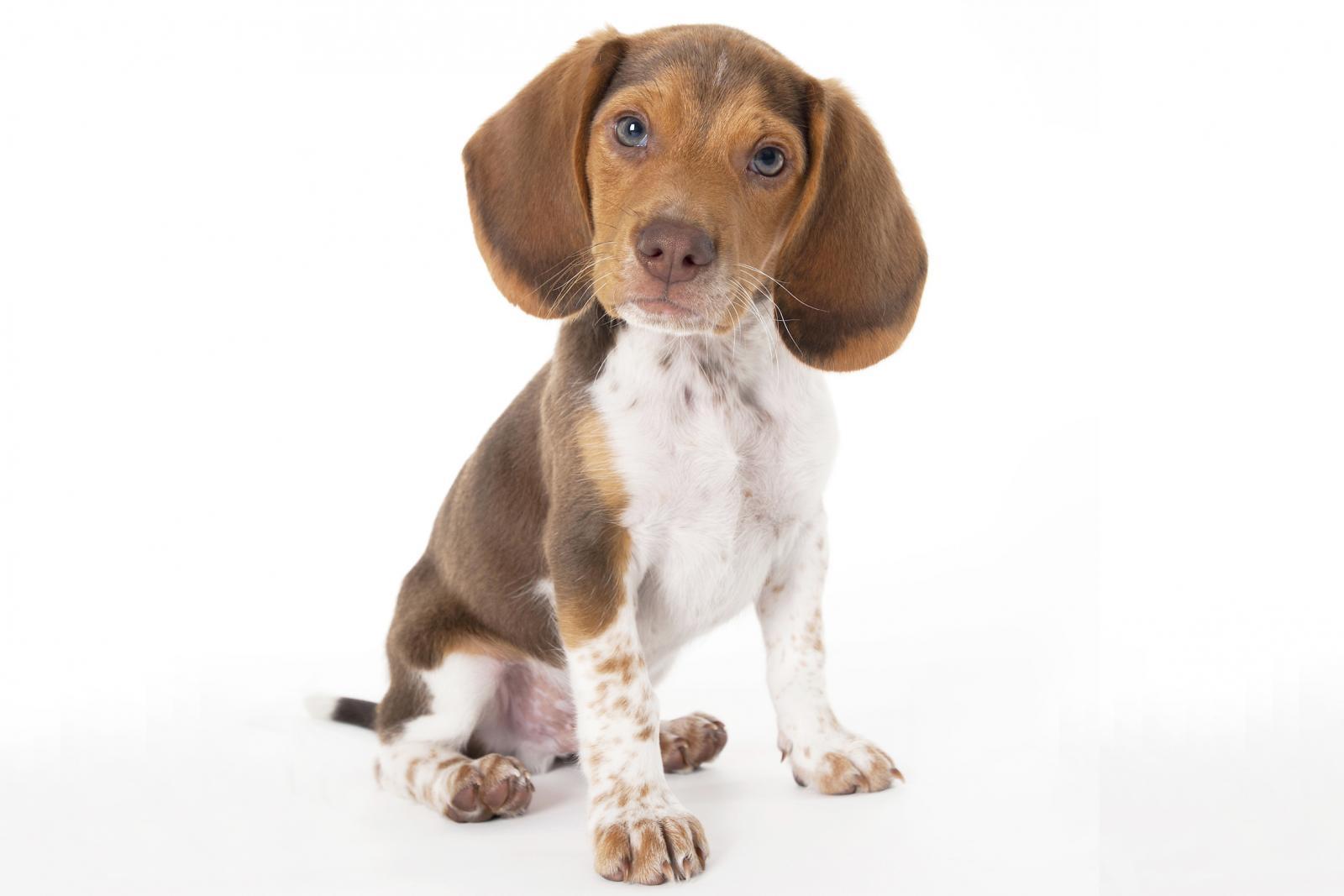 Cachorro Beagle de Bolsillo