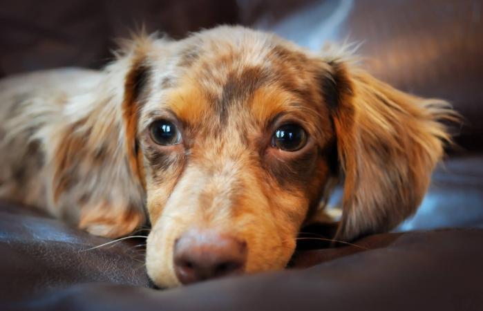 Cachorro Chiweenie