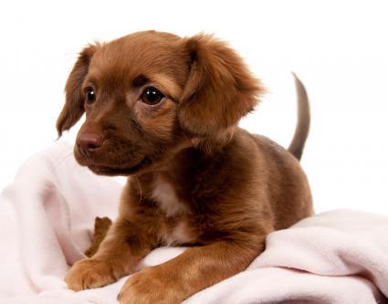Cachorro Chiweeni