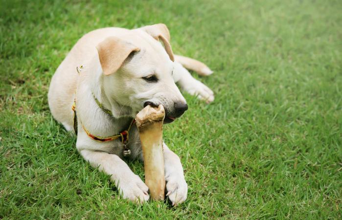 Labrador Retriever masticando un hueso de cuero