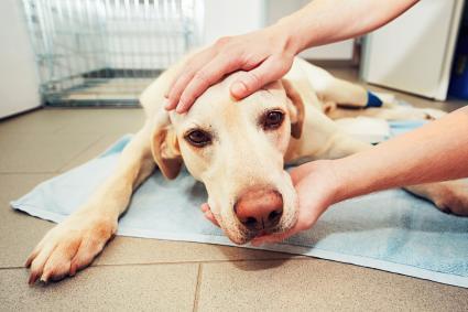 Perro en el veterinário