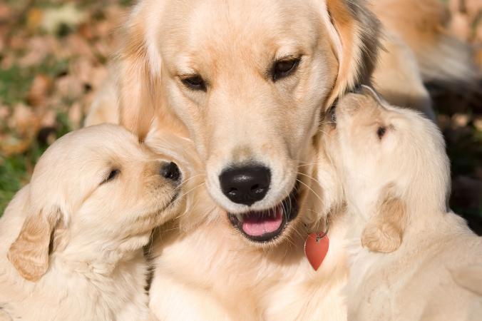 Perro perdiguero madre y cachorros