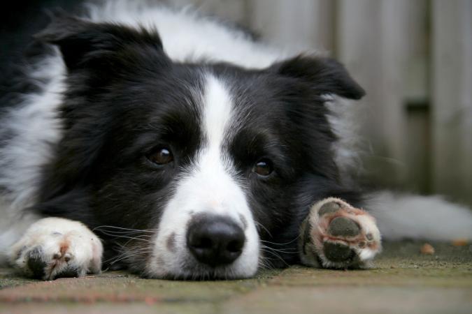 Perro Border Collie deprimido