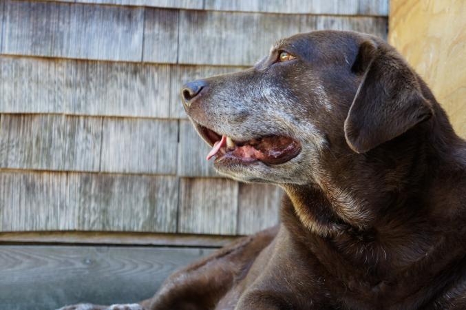 Perro labrador viejo