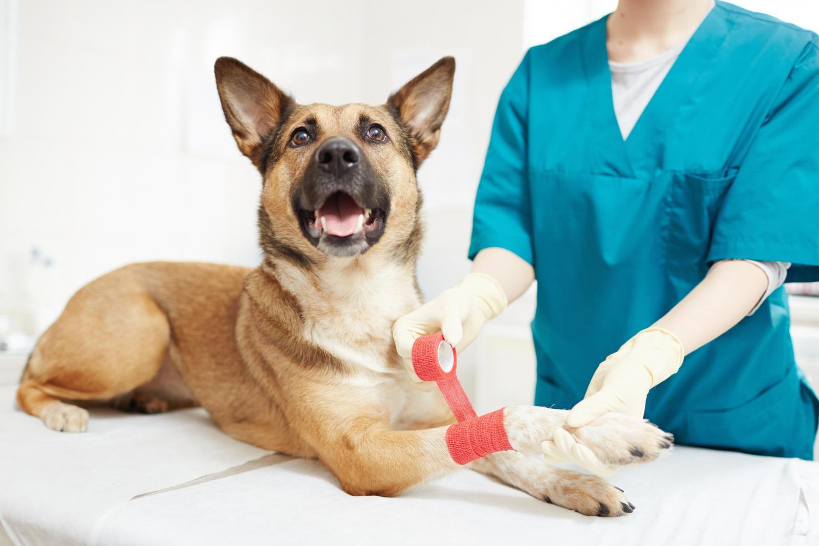 Perro en el veterinario con vendajes en la pata