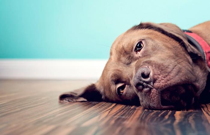 Dieta para perros con cancer de higado