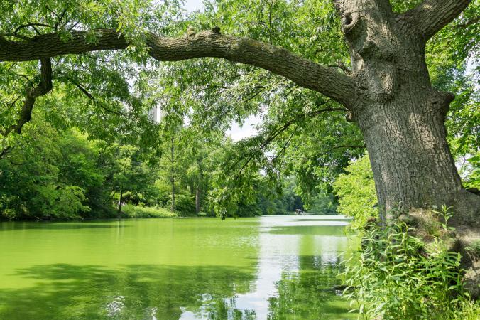 Algas verdes azules en el lago