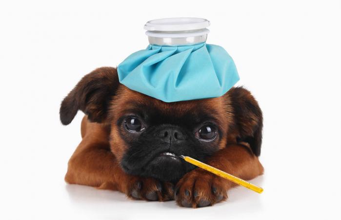 Cachorro con hielo en la cabeza