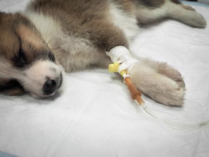 cachorro con intravenosa