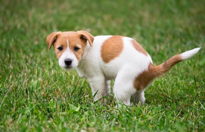 Cachorro orinando
