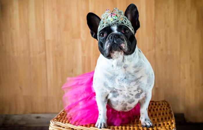 Bulldog francés vestida de princesa