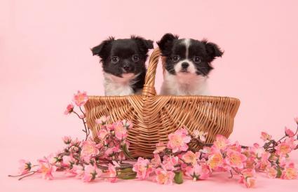 Cachorros en cesta con flores
