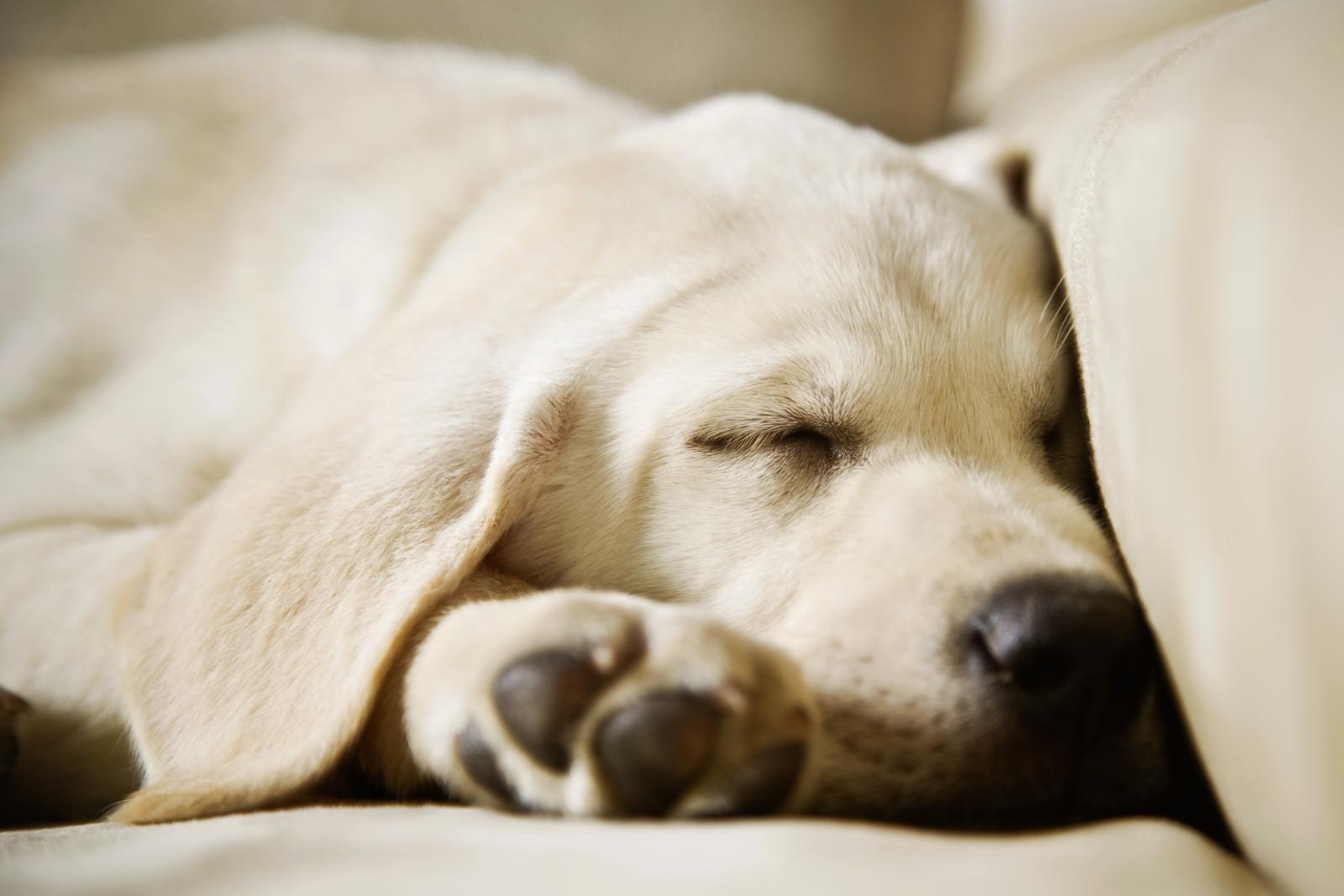 Labrador durmiendo en el sofa