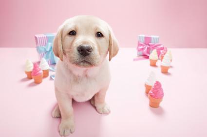 Labrador en fondo rosa