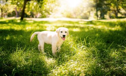 Labrador al sol