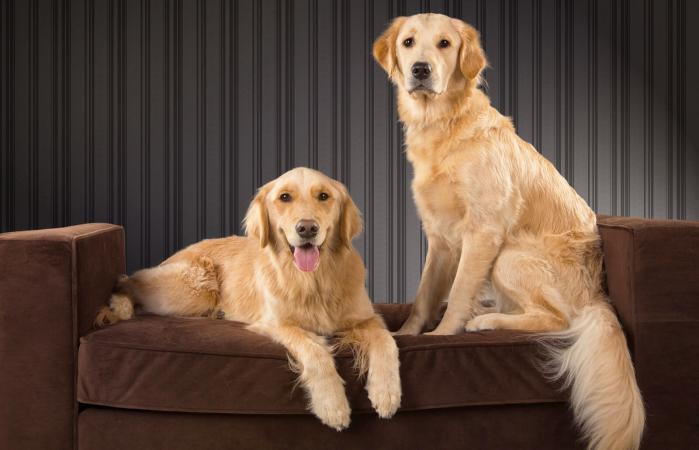 Dos golden retrievers en un sofá