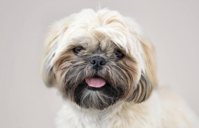 Retrato de perro Shih Tzu