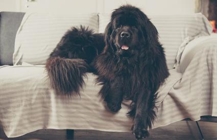 perro de Terranova en casa