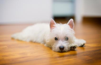 Terrier blanco