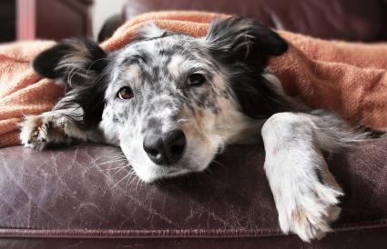 Perro bajo la manta