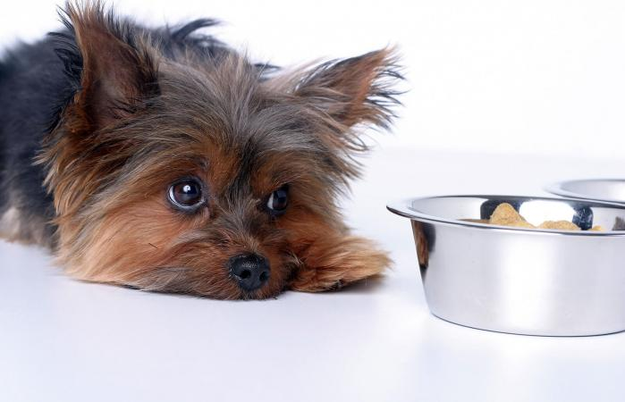 Perro mirando un tazón de comida