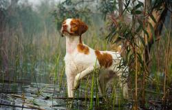 Brittany Spaniel in the show ring