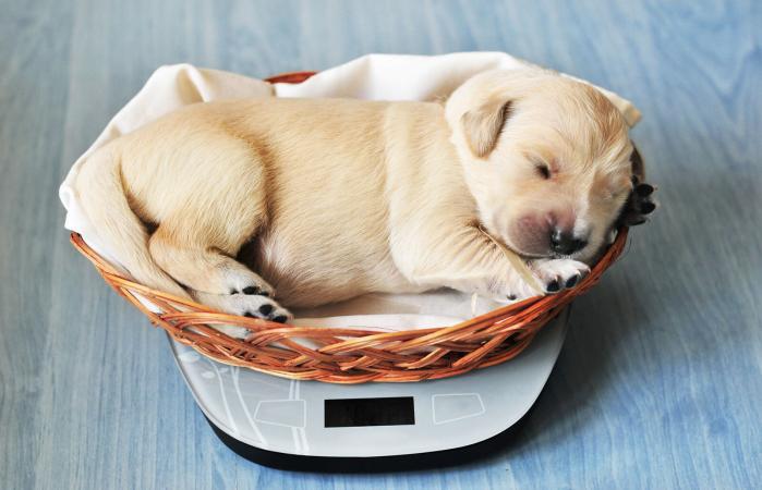 Medición del peso de un cachorro golden
