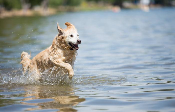 Golden Retriever corre hacia el lago