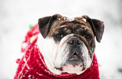 Perro con abrigo de invierno