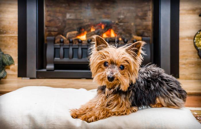 Yorkshire Terrier Relajandose Sobre Cojín