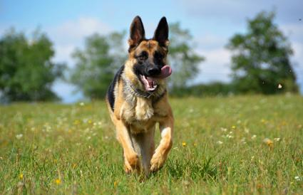 Perro pastor alemán corriendo