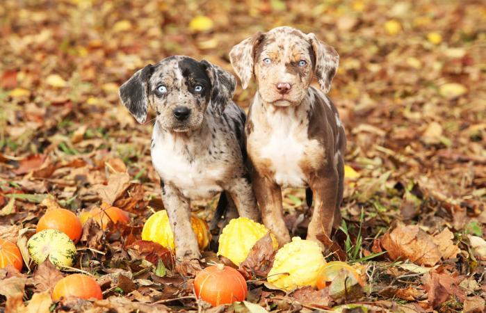 Cachorros Catahoula