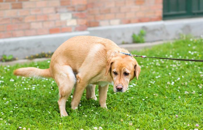 Perro labrador retriever hace caca