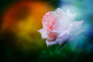 pink rose multiple exposure