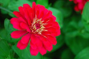 Closeup of red zinnia