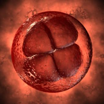 A four cell embryo after in vitro fertilization